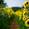 向日葵の小径