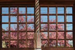 格子映し桜【長徳寺】