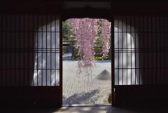 おねの糸桜【高台寺】