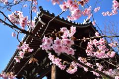 オトメ桜の鐘の声【百万遍知恩院】