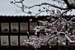 白無垢の紅梅【北野天満宮】