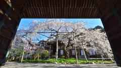 山科の大枝垂桜【毘沙門堂】
