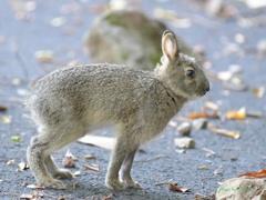 野生ウサギ_200602-1