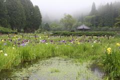 アサザ咲く沼