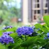 外交官の紫陽花