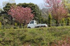 桜道を行く