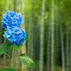 「竹林に咲く藍」