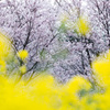 「SAKURA・NABANA COLORS」