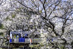 「桜×ひまわり」