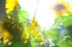 多輪向日葵