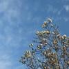 青空と木蓮
