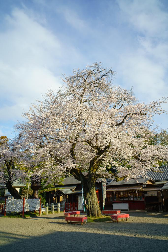 春を告げる樹