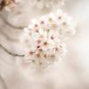 春の幻想(桜)
