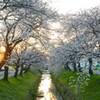 ふっかちゃんの桜Ⅱ
