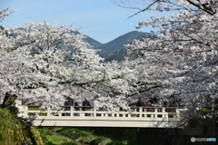 一の坂の桜満開