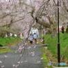 徳佐八幡宮の枝垂桜