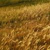 金色の野に降り立つべし。
