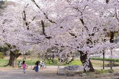 今年の桜は 1