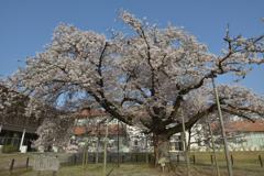 瑞桜(ずいおう)