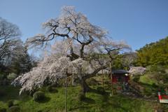 泉福寺のしだれ桜