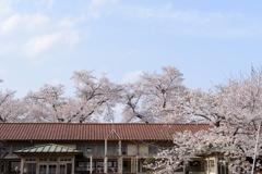 今年の桜は 2