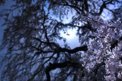 月夜の枝垂れ桜*2