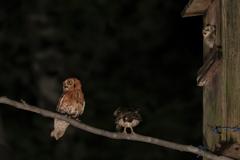 夜のコノハズク(赤色型)とコノハズクのペアと雛