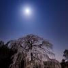 月夜の枝垂れ桜