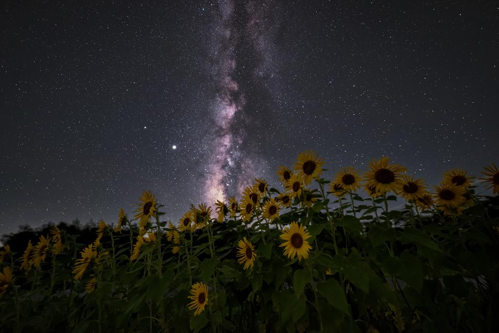 星降る夜のひまわり