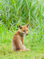 Tottori Fox*1