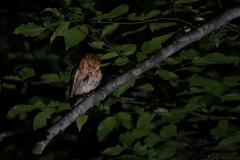夜のコノハズク(赤色型)*1