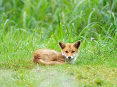 Tottori Fox*2