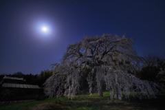 月夜の枝垂れ桜*1