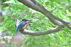 翡翠幼鳥をマクロで