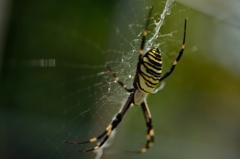 虎蜘蛛!?