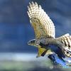 鷹狩。。鳩の尾を掴む