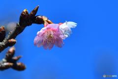紅白の河津桜