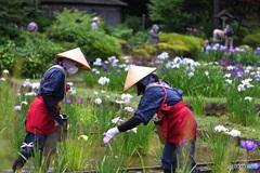 花を摘む菖蒲娘