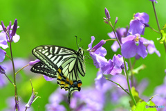 紫花菜の蜜に夢中