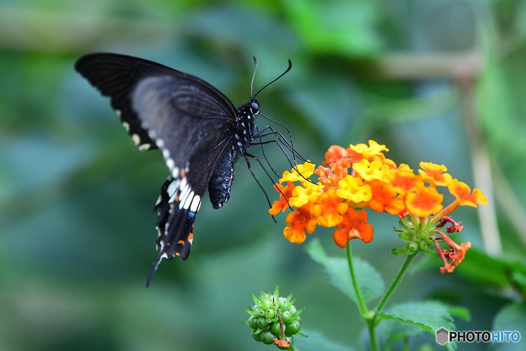 高貴さ漂う華麗な蝶
