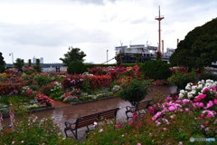 雨に彩を放つ薔薇園