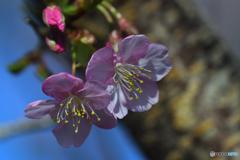春の陽気に河津桜の便り