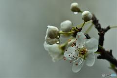 白桜への潤水添え