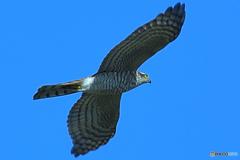 鳩捕獲へ追跡中の大鷹