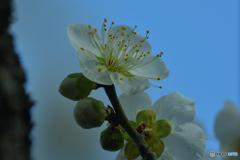 可憐さ溢れる緑愕梅