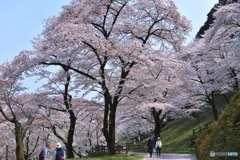 桜浴に散策