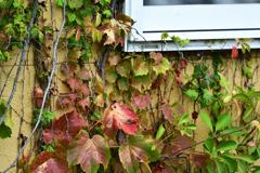蔦にも秋の便り