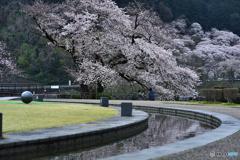 降り注ぐ大樹桜