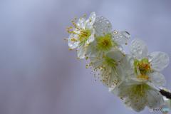 雨滴に潤な緑愕梅