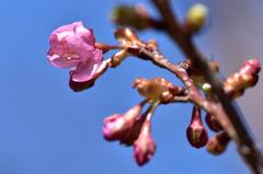 河津桜。。開きます!